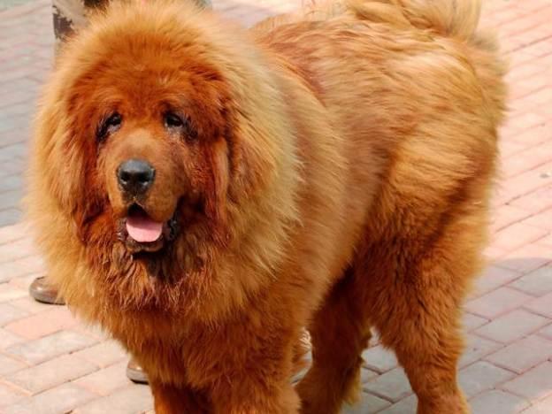 million dollar mastiff